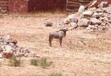 Шымкентский зоопарк. Антилопа