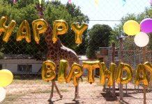 В зоопарке Шымкента с днем рождения поздравили жирафа Астану