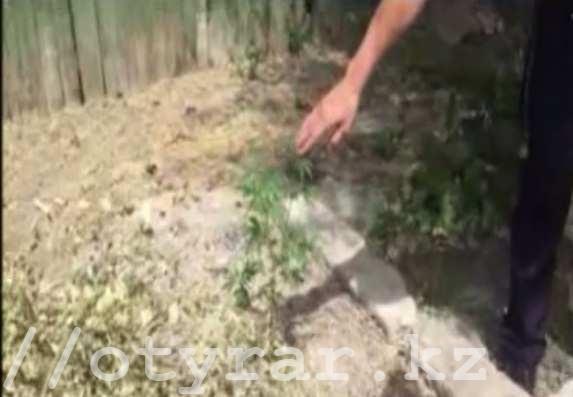 Плантацию конопли обнаружили полицейские