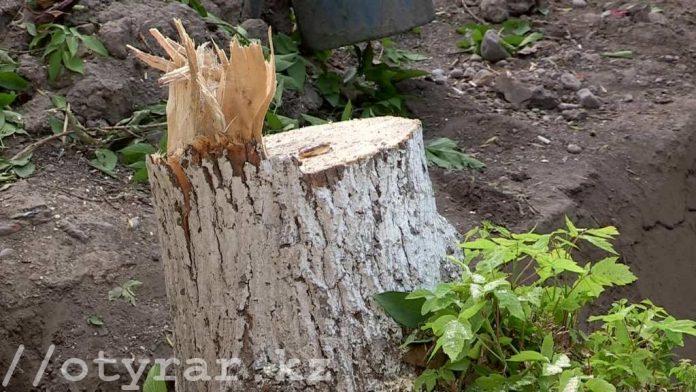 Для чего в Шымкенте вырубают зеленые деревья
