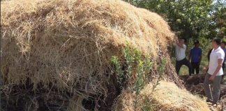 Полицейские обнаружили у жителя Мактаарала коноплю, прятанную в стоге сена