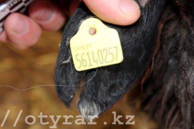 Таврирование скота