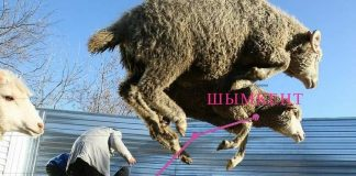 В Шымкенте самые дорогие бараны
