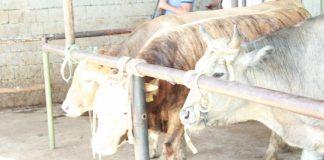 В ЮКО кооперативы открывают пункты приема молока и мяса