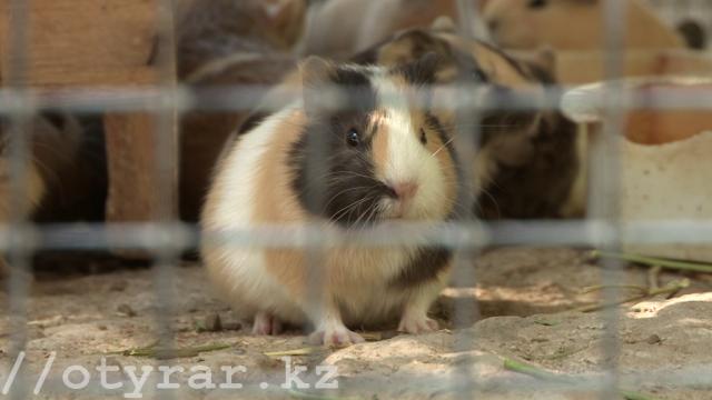 Морская свинка в зоопарке