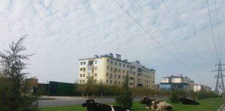 Коровы на газоне