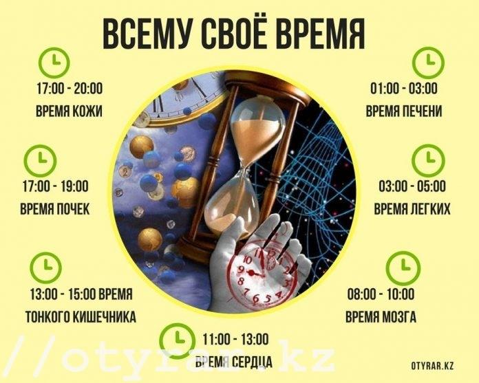 Время работы органов человека