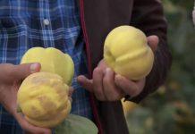 В Южном Казахстане начали выращивать айву в промышленных масштабах