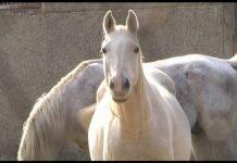 О лошадях Тохтара Тулешова рассказали в зоопарке Шымкента
