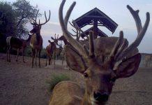 Специалисты питомника лесничества Кызылшаруа в ЮКО насчитали 146 бухарских оленей