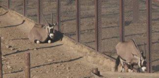 У африканской антилопы канна появился детеныш