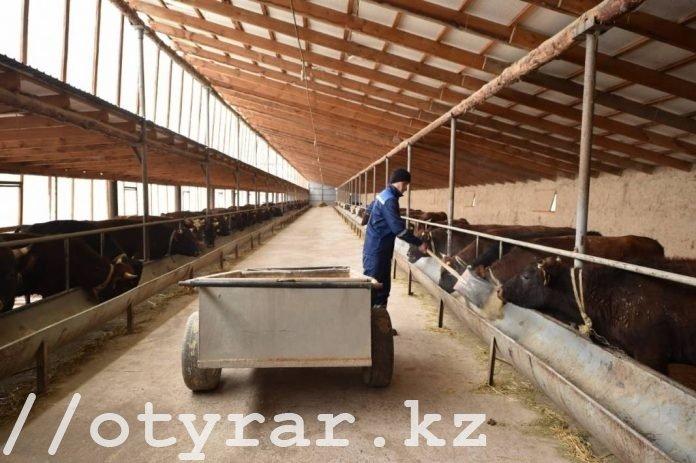 Молочная откормплощадка в Сайрамском районе