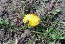 В Шымкенте цветут одуванчики