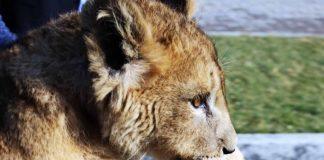 Львенок Конор в шымкентском зоопарке