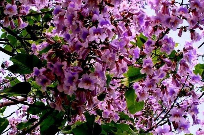 Цветет павловния