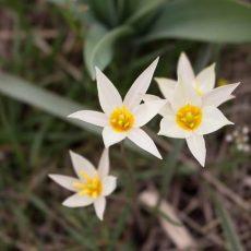 Первые дикие тюльпаны расцвели в ЮКО