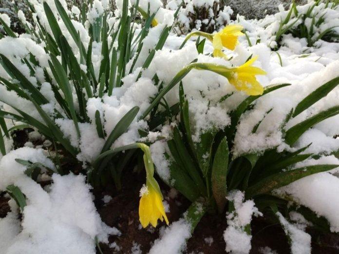 Цветы и снег в Шымкенте