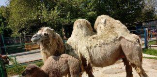 Верблюдица с детенышем в зоопарке