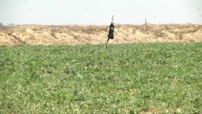 Нашествие саранчи угрожает южным районам ЮКО