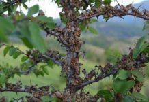 стая саранчи на дереве