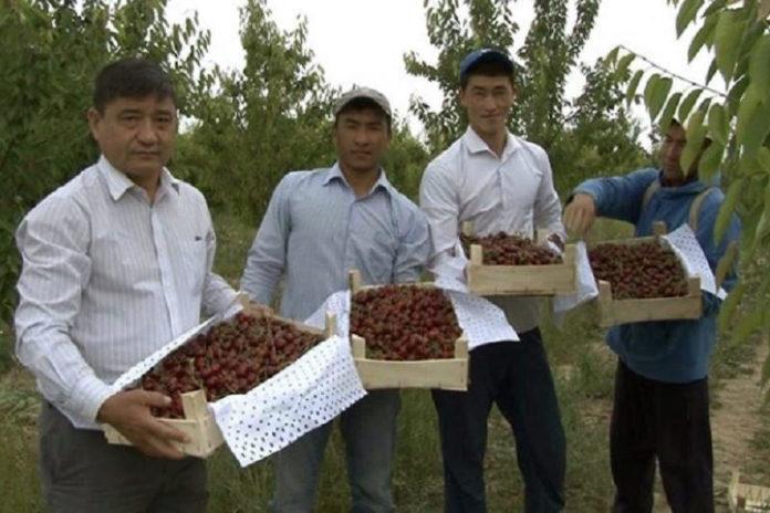 К 20-летию Астаны в ЮКО соберут 20 тонн черешни