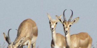 В ЮКО создан фазанарий для увеличения численности диких животных