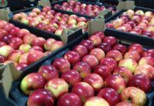 Яблоки сорта Апорт
