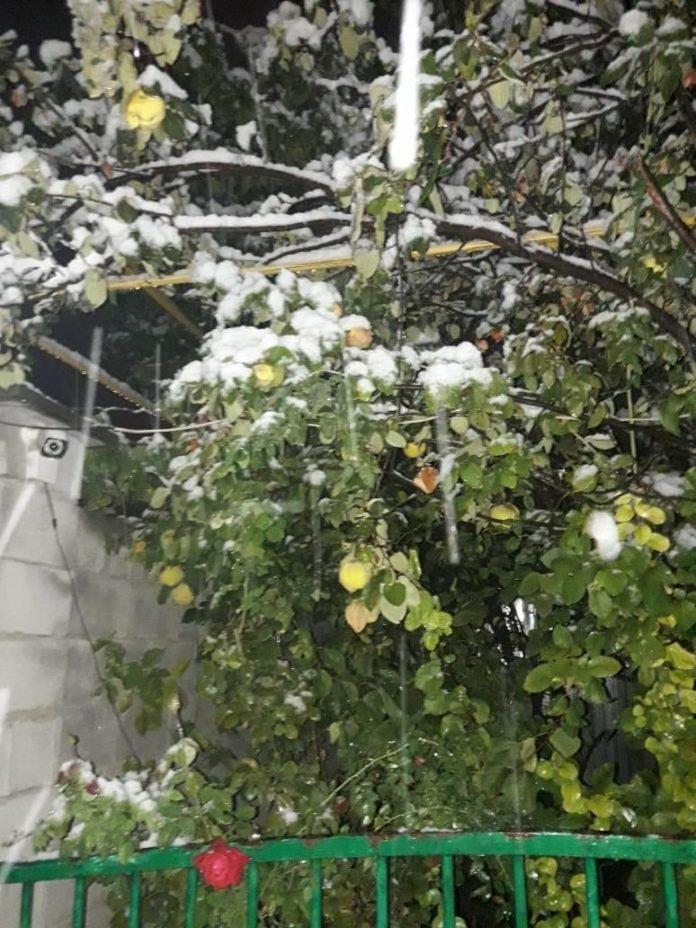 Айва в снегу