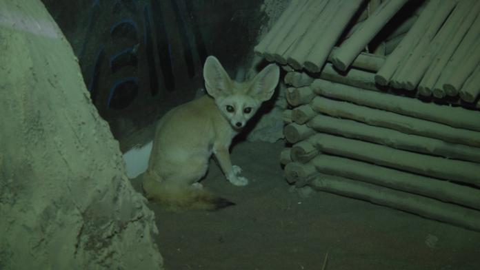 зоопарк фенека