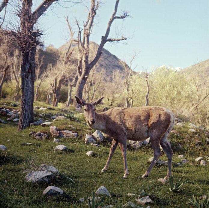 бухарский олень