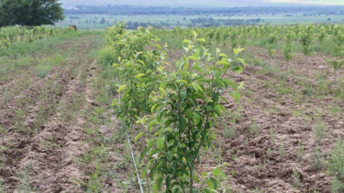 яблони сад