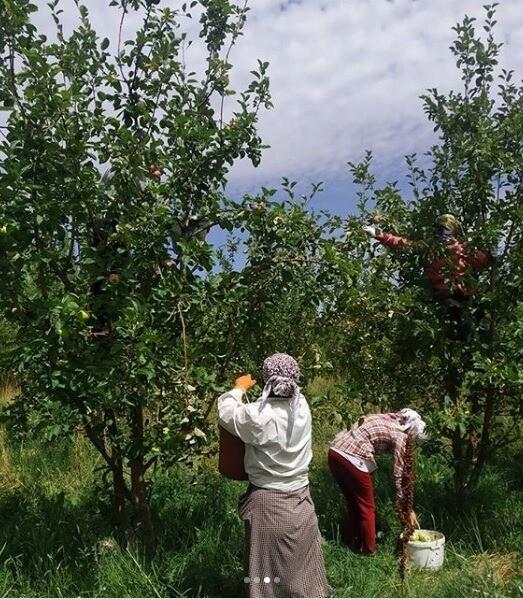 сбор яблоки